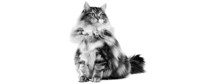 Alimentação do gato: exigências nutricionais para cada etapa de vida do animal