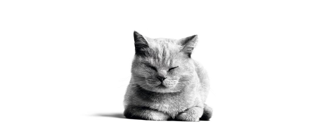 Como é o alimento que contribui para a saciedade dos gatos e por que ele é importante na dieta