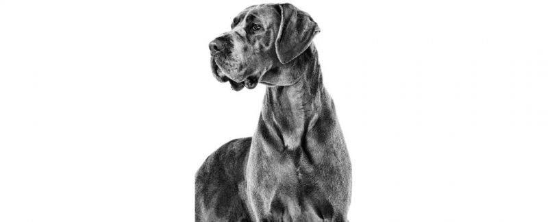 Envelhecimento em cães: particularidades e a importância do apoio nutricional