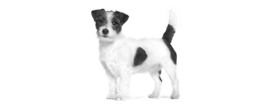 Os benefícios do psyllium na alimentação dos cães