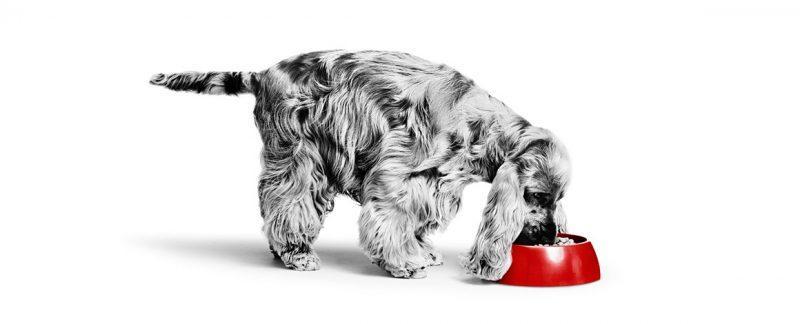 Lançamento da Royal Canin: tudo sobre o alimento Hypoallergenic Moderate Calorie Canine