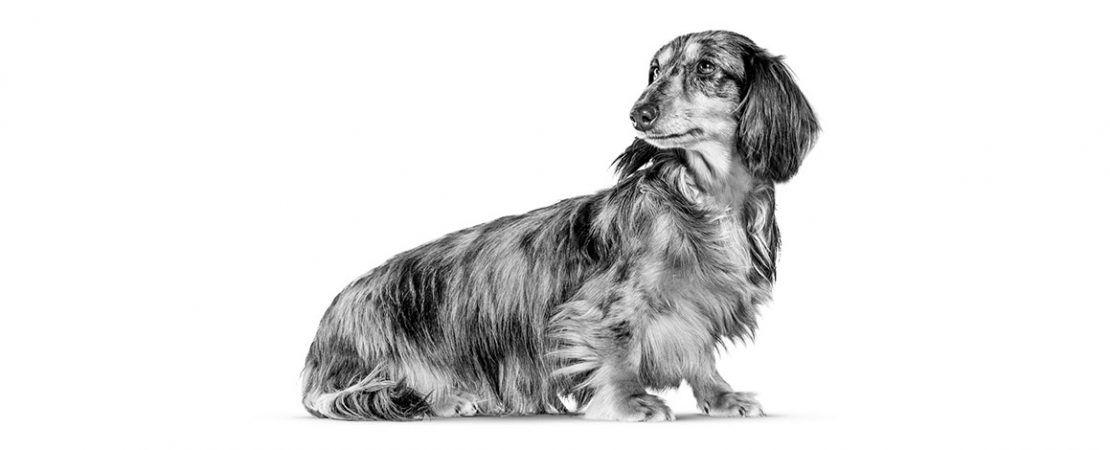 Dermatologia canina: doença cutânea autoimune