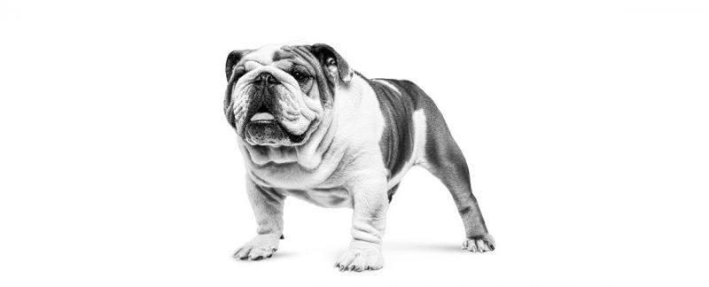 Diabetes mellitus em cães e gatos – é possível prevenir?