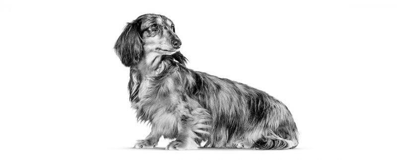 Urolitíases: cães pequenos em risco