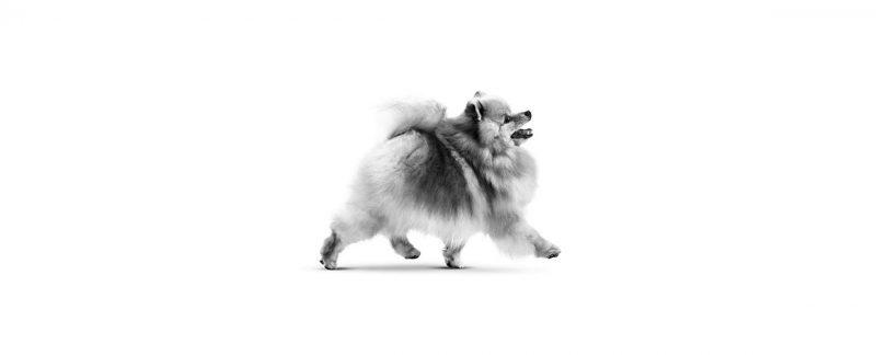Conheça as 10 raças de cães mais populares no Brasil