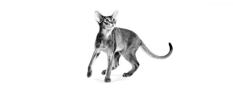 Diferenças comportamentais dos gatos e adaptações alimentares de acordo com o estilo de vida
