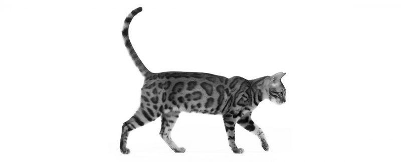 Anorexia em felinos: um sinal clínico comum e inespecífico em gatos