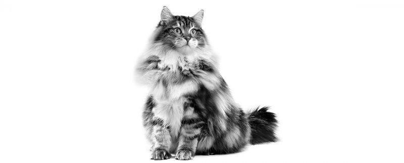 Como minimizar os riscos de distúrbios gastrointestinais em gatos