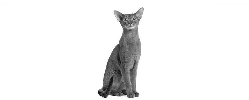 Doença inflamatória intestinal em gatos: breve revisão