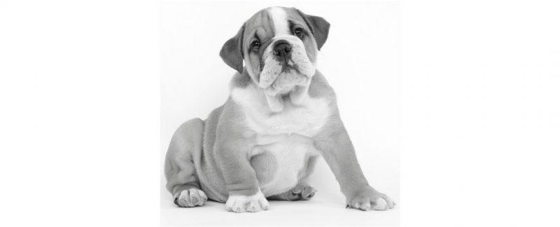 Teste de DNA identifica a ascendência de cães em até três gerações