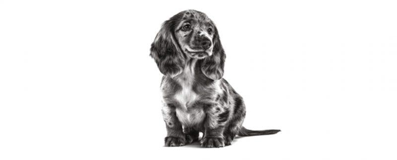 Obesidade em filhotes de cães: como prevenir