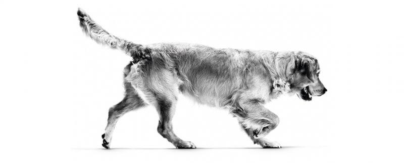 Soluções nutricionais da ROYAL CANIN® para as principais sensibilidades em cães