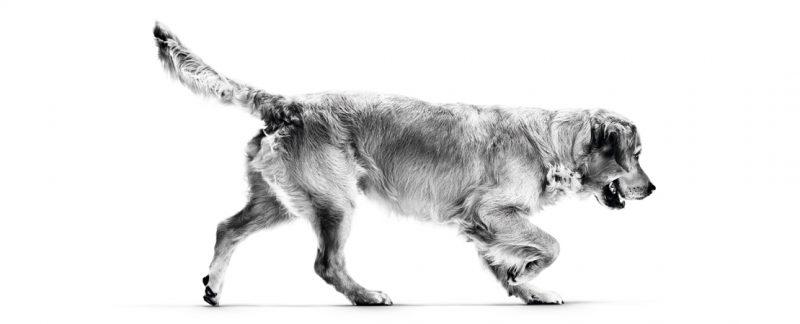 As raças de cães mais predispostas ao ganho de peso