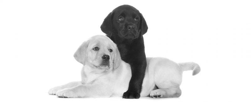 Fator genético predisponente à obesidade na raça Labrador Retriever