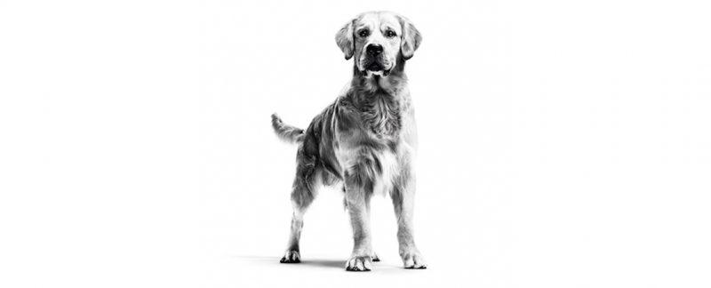 Deficiências nutricionais podem estar associadas à cardiomiopatia dilatada em cães?