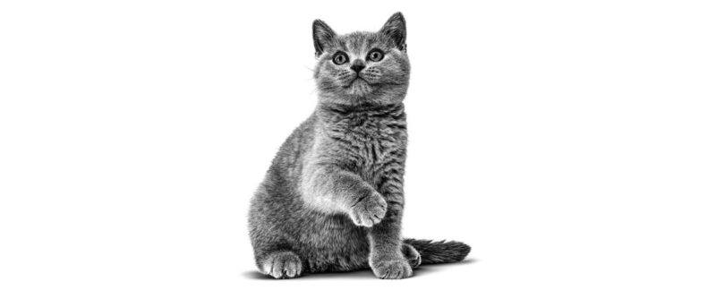Lipidose hepática em gatos: fisiopatogenia, diagnóstico e tratamento